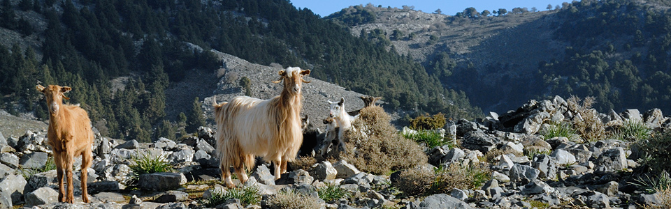 Goats in the hills